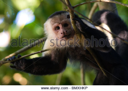 White headed Capucin monkey - Corcovado - Stock Photo