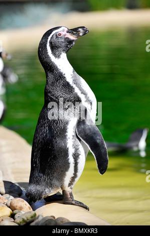 Humboldt Penguin (Spheniscus humboldti) at Twycross Zoo - Stock Photo