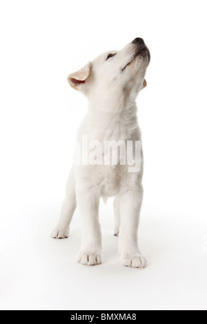 Cute white puppy on white background looking up - Stock Photo