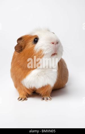 Guinea Pig on white background - Stock Photo