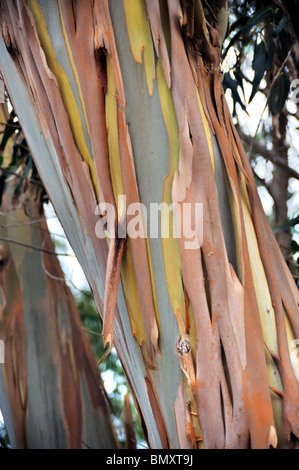 Eucalyptus, Gum Tree, north of Madeira island,  Portugal - Stock Photo