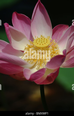 A beautiful pink lotus flower opens to reveal a deep yellow center seen in a Hindu temple in Ubud, Bali, Indonesia. - Stock Photo