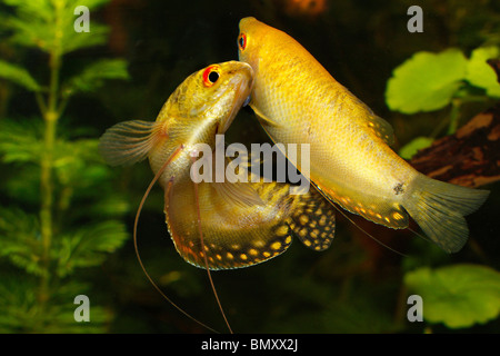 Three spot gourami - couple / Trichogaster trichopterus - Stock Photo