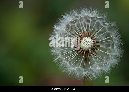 A close-up photograph of the structure of a dandelion clock (Taraxacum Officinale). - Stock Photo