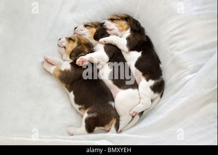 Beagle. Three puppies sleeping sleeping on a blanket - Stock Photo