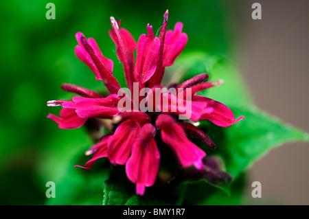 Closeup of a red Bee Balm flower, Monarda didyma. Oklahoma, USA. - Stock Photo