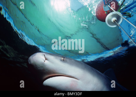 Close-up of Zambezi (Bull) Shark (Carcharhinus leucas) approaching shark cage.  Responsible for most attacks in - Stock Photo