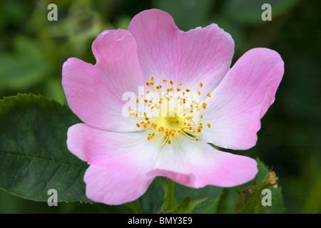 Wild Rose / Dog Rose (Rosa canina) - Stock Photo