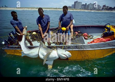 3 meter Tiger Shark (Galeocerdo cuvier) caught in anti-shark net off Durban Beach, South Africa. - Stock Photo