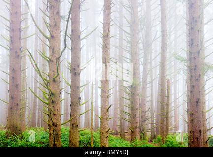 Sitka Spruce forest with fog on the oregon coast. Samuel H. Boardman State Scenic Corridor. Oregon - Stock Photo