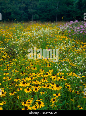 Jefferson County, WV: Black-eyed Susan, wild bergamont and mayweed blooming in an open field in summer - Stock Photo