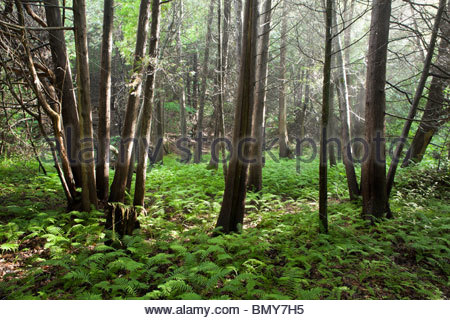 Sunshine through cedars on a misty summer day on the Seaton Hiking Trail in Pickering Ontario Canada - Stock Photo