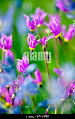 Close up of Shooting Star (Dodecatheon conjugens) Blue Camas lily is blurred. Near Catherine Creek. Oregon - Stock Photo