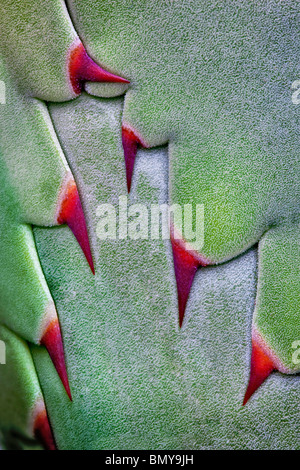 Close up of thorns on agave plant before opening. - Stock Photo