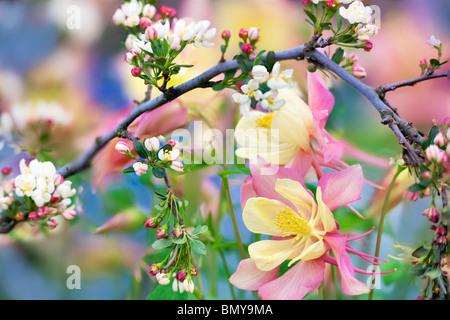 Crabapple (Sargentina Flowering Crabapple) with Columbine (Swan Pink and Yellow) . Oregon - Stock Photo