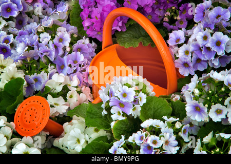 Watering can in field of Obconica Primrose flowers. Oregon - Stock Photo