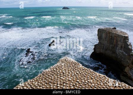 Gannet colony at Muriwai Beach, Auckland, New Zealand - Stock Photo