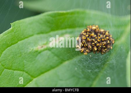 Araneus diadematus. Young cross orbweaver spiders in a spiders web nest - Stock Photo