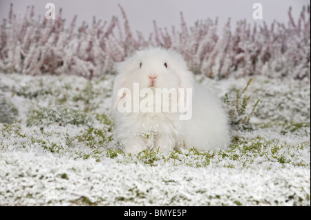 young Teddy lop-eared dwarf rabbit snow - Stock Photo