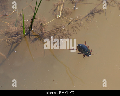 A Male Predatory Great Diving Beetle (Dytiscus marginalis), England - Stock Photo