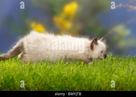 Neva Masquarade, kitten, 7 weeks / Siberian Forest Cat, Siberian Cat, Siberia, Neva Masquerade, side, sneaking - Stock Photo