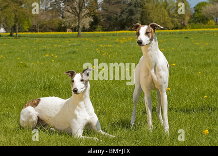 two Magyar Agar dogs meadow - Stock Photo