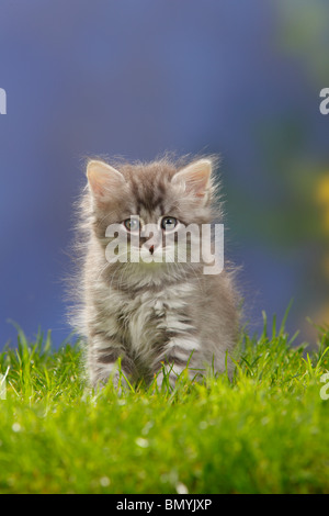 Siberian Forest Cat, kitten, 7 weeks, blue-silver-tabby / Siberian Cat, Siberia - Stock Photo