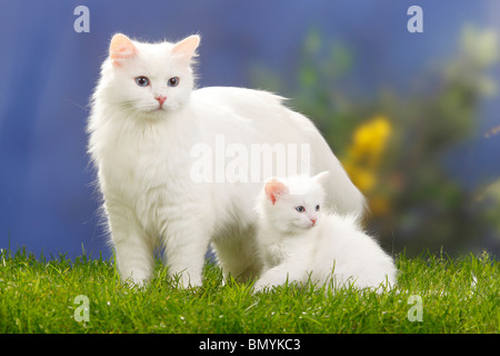 Siberian Forest Cat, white, with kitten, 7 weeks / Siberian Cat, Siberia - Stock Photo