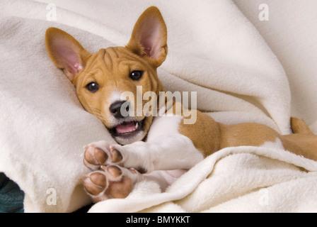 Basenji puppy Stock Photo: 283491112 - Alamy