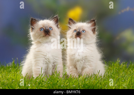 Neva Masquarade, kittens, 7 weeks / Siberian Forest Cat, Siberian Cat, Siberia, Neva Masquerade - Stock Photo