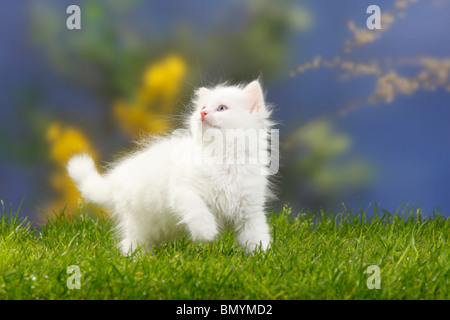 Siberian Forest Cat, kitten, 7 weeks, white / Siberian Cat, Siberia - Stock Photo