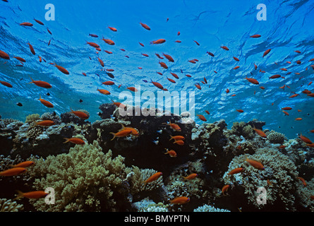 Jewel Fairy Basslet (Pseudanthias squamipinnis) Schooling on Coral Reef. Egypt - Red Sea - Stock Photo