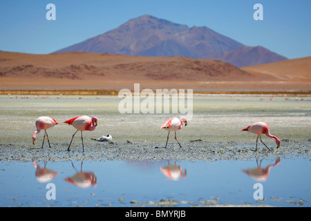 Flamingos on Laguna Jedionda in the Bolivian Andes - Stock Photo