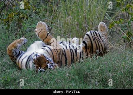 Tiger rolling in green grass in Ranthambhore National Park, India - Stock Photo
