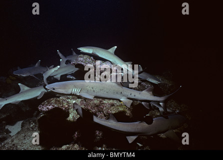 Whitetip Reef Sharks (Triaenodon obesus) hunting for reef fish in coral at night, Cocos Island, Costa Rica - Pacific - Stock Photo