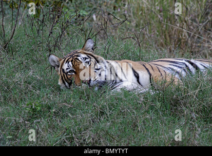 Tiger relaxing in the green grass and looking in Ranthambhore National Park, India - Stock Photo