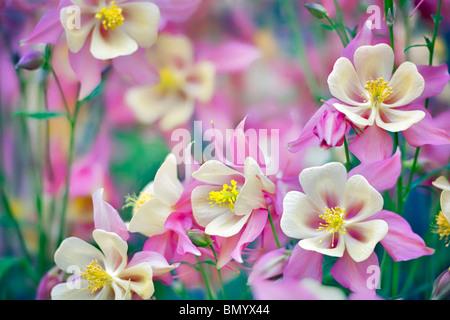 Close up of Columbine (Swan Pink and Yellow) . Oregon - Stock Photo