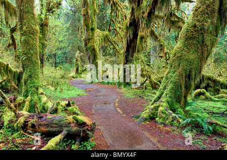 Path in Hall of Mosses. Hoh Rain Forest. Olympic National Park, Washington - Stock Photo