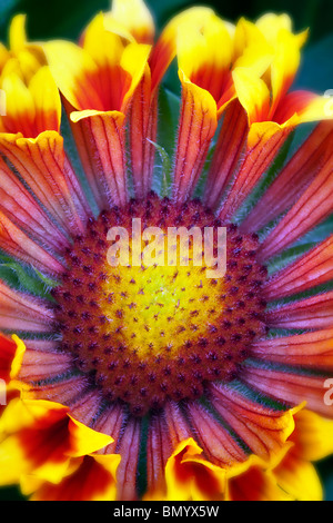 Close up of Fanfare Blanket Flower (Gaillardia 'Fanfare'). - Stock Photo