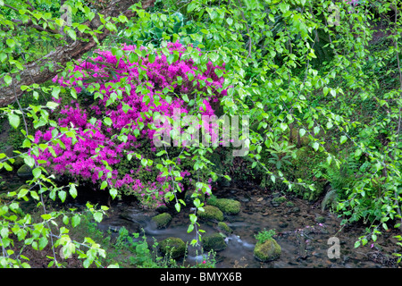 Azalea with new growth on alder trees and stream. Crystal Springs Rhododendron Gardens, Oregon - Stock Photo