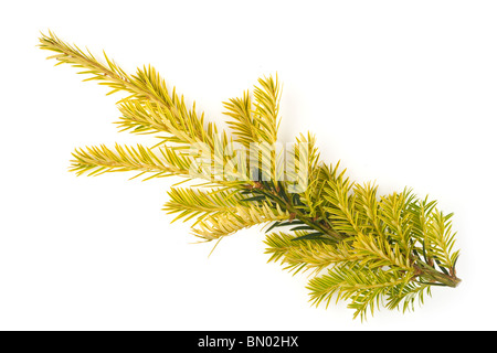 New growth on the tip of a yew tree Taxus Baccata - Stock Photo