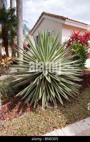 spanish dagger yucca gloriosa variegata stock photo royalty free image 20927267 alamy. Black Bedroom Furniture Sets. Home Design Ideas