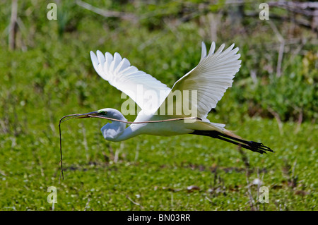 Great Egret Flying with Stick back to Nest in the Audubon Swamp Garden in Magnolia Plantation in South Carolina - Stock Photo