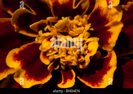 Close up of a French Marigold, Tagetes patula, 'Bi Colour' in flower in late spring - Stock Photo