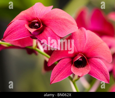 Dendrobium Thailand Black, Orchid - Stock Photo