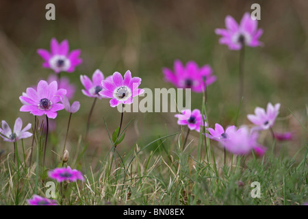 Wind flower, Anemone pavonina, spring bulb flower, protected in Bulgaria, Strandja Nature Park, Bulgaria - Stock Photo