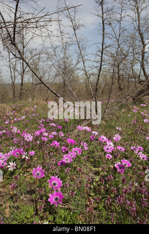 Spring Forest with flowering wind flowers (Anemone pavonina) in Strandja Nature Park, South Bulgaria, Europe - Stock Photo