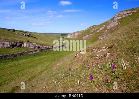 Wild purple Orchids in Cressbrook dale Peak District National Park Derbyshire England United KIngdom - Stock Photo