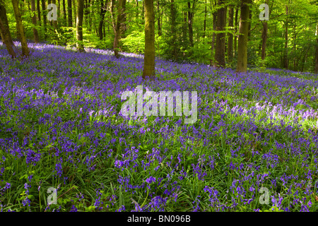 Carpet of Bluebells in woodland near Chesterfield Derbyshire East Midlands England United Kingdom - Stock Photo