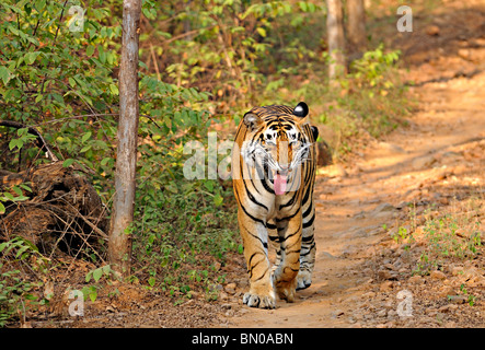 Tiger walking on a road in Ranthambhore national park, India - Stock Photo